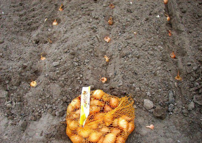Steckzwiebeln pflanzen.