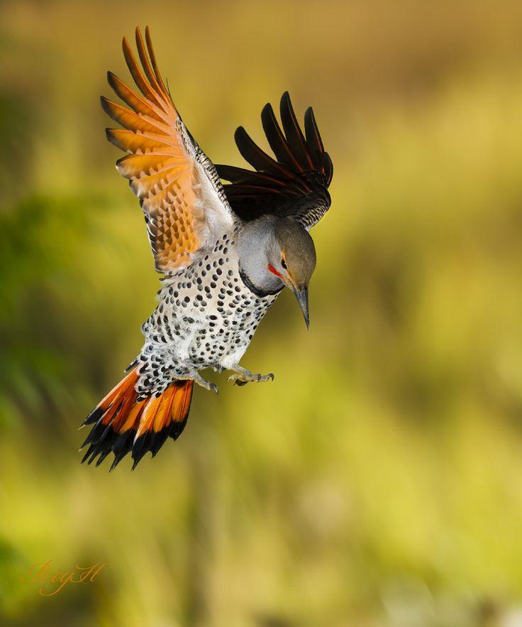 73 Best Flicker Birds Images On Pinterest Northern