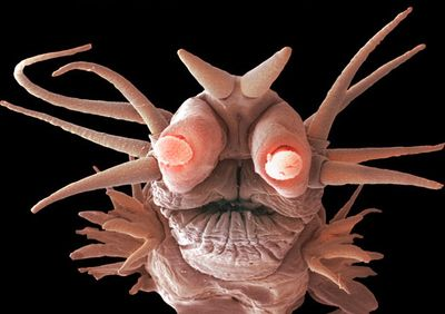 This demonic-looking creature is the Pompeii Worm, a deep sea creature reaching lengths of up to 5 inches with red tentacle-like gills on their heads that can withstand temperatures that rival those in Hell. The worms live in tubes near black smokers, or hydrothermal vents, one of the most inhospitable environments on our planet. Their tail end rests near the source of the heat which gets up to 176 °F (80 °C) while their head pokes out into cooler temperature