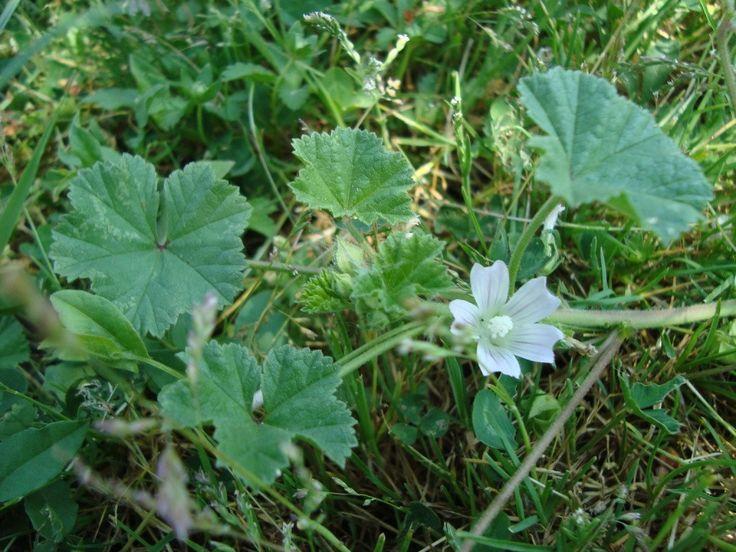 5 kiváló gyógynövény, ami segít az allergia kezelésében | Sokszínű vidék