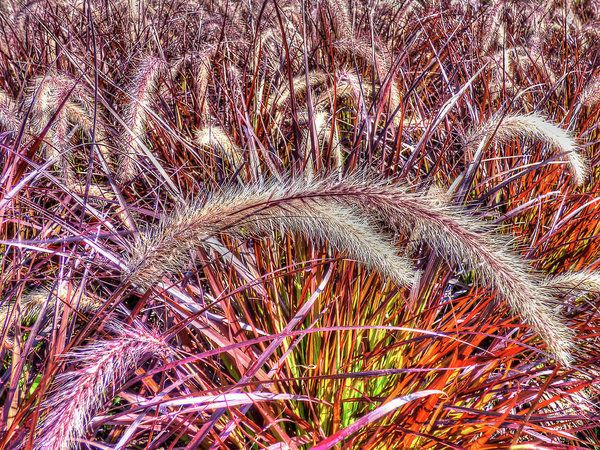 Purple Fountain Grass Art Print by Leslie Montgomery.  All prints are professionally printed, packaged, and shipped within 3 - 4 business days. Choose from multiple sizes and hundreds of frame and mat options.