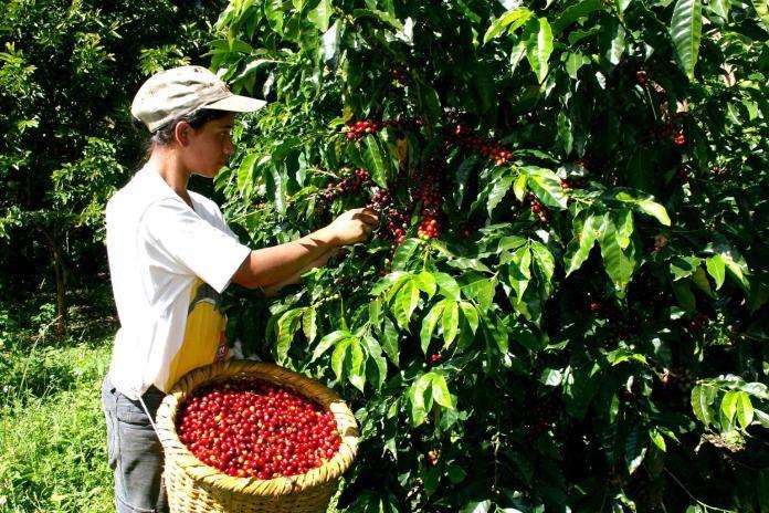 El cultivo de café ha sido importante. /Foto: Cortesía.