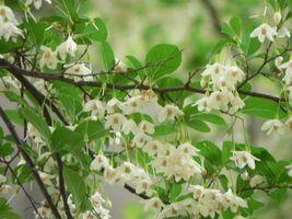 安息香の木(ベンゾイン) Styrax benzoin(Benzoin)