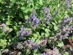 Nepeta racemosa - šanta Zahradnictví Krulichovi - zahradnictví, květinářství, trvalky, skalničky, bylinky a koření