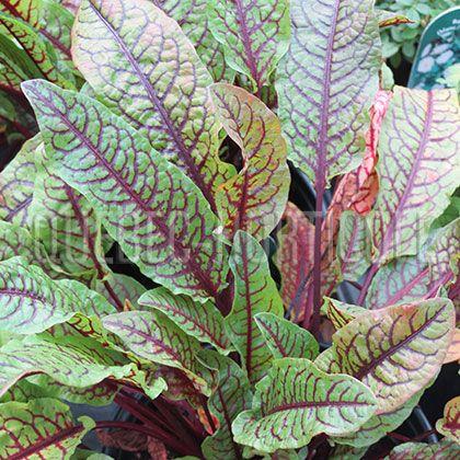 Oseille; Rumex sanguineus var. sanguineus. Légume perpétuel; annuelle qui se ressème; vivace non rustique au Québec