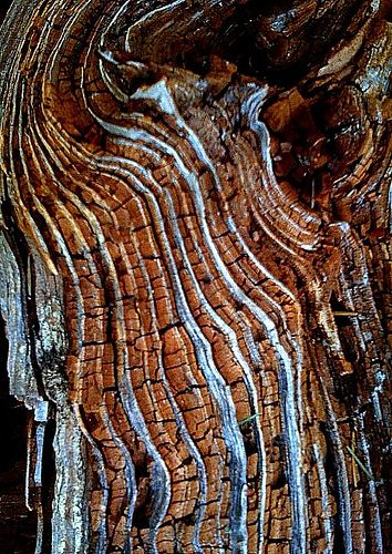 this is the inside of a fallen tree on Mt. Tam just north of San Fran. #patterns and #textures