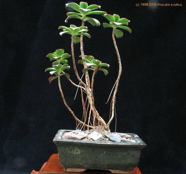 17 Best Images About Succulent Bonsai On Pinterest Trees