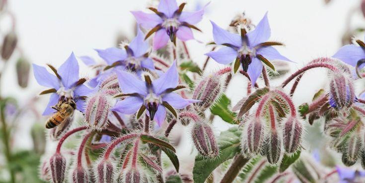 A Borragem é uma planta indispensável para ter uma horta equilibrada. Conheça os seus benefícios e as plantas que gostam da sua companhia.