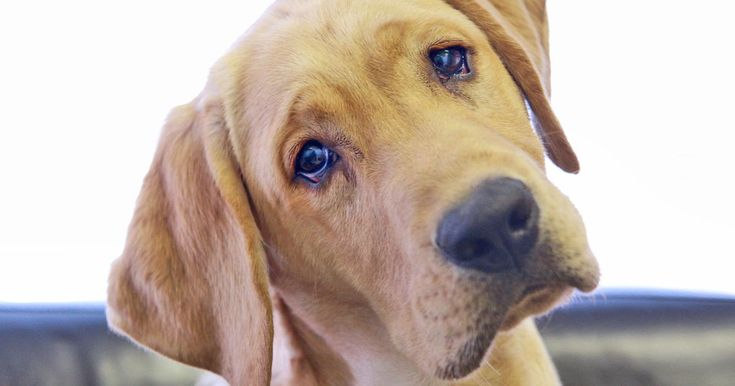 Dogs tilt their heads whether we're giving them praise or a telling off - but why?
