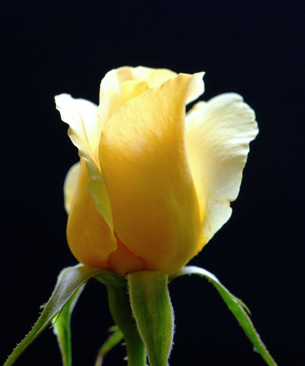 A Single Yellow Rose Bud on a Black Background | SHADES OF ...