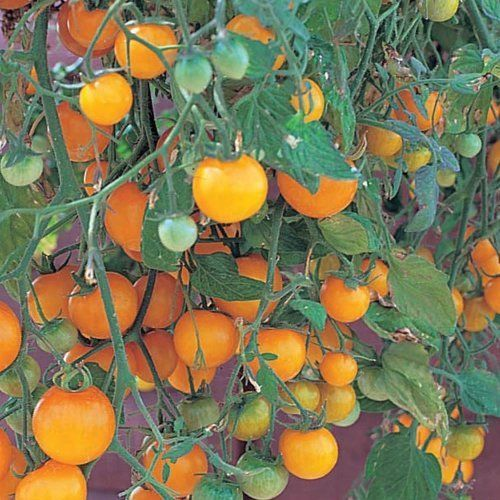 7 Best Cherry Tomato Plants Images On Pinterest Cherry 400 x 300