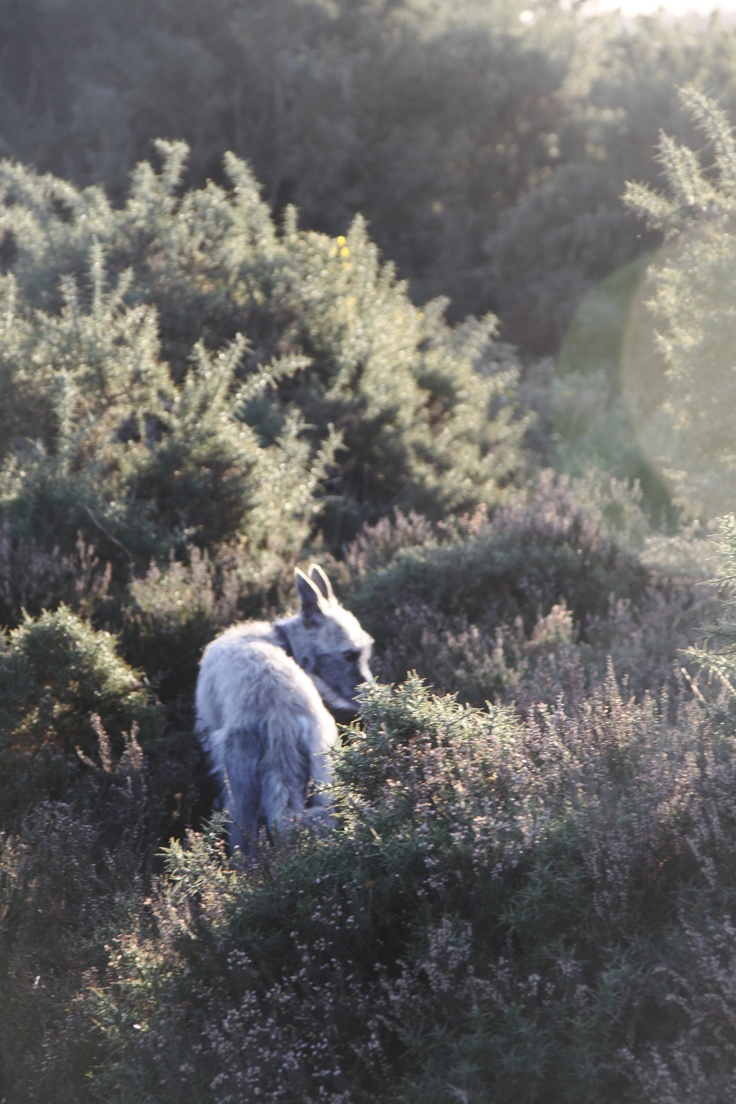Happy dog running free in the New Forest heather.