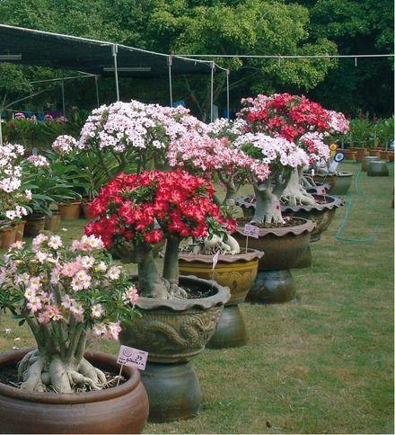 Rosa do deserto imagens pesquisa google bonsai - Como cultivar bonsai ...