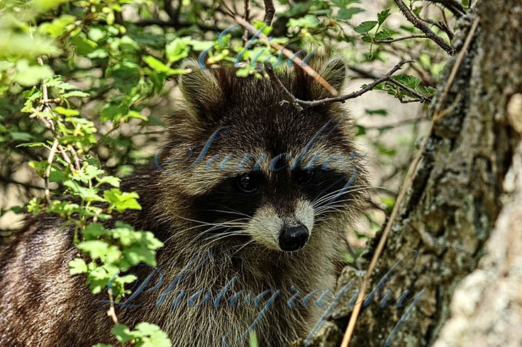 # 272 #raccoon