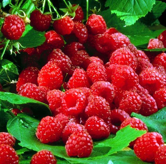 Малинки, малинки))) Малина ягода вкусная, а потому всеми любимая. Но эта ягода помимо отменного вкуса имеет ряд полезных свойств, благодаря которым широко используется в лечении и для проф...