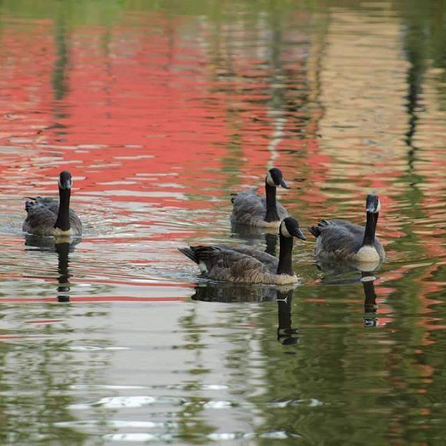 #geese #canadiangeese #canadiangeeseofinstagram #geeseofinstagram #birds…