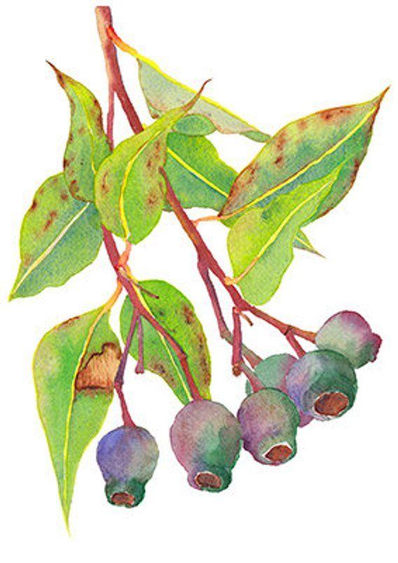 Gumnuts Art Print A5 10x8 A4 14x11 A3 Australian Native Flora