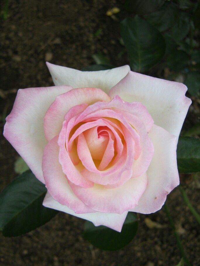 My photograph album... Rose