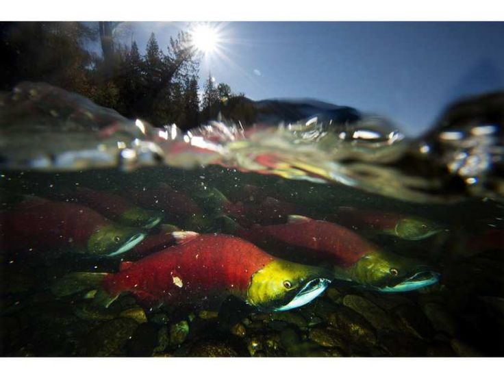 The Okanagan River is experiencing such healthy sockeye returns this year that First Nations are sharing their catch with those from communities in the Williams Lake region and north who are suffering because of historic low sockeye returns on the Fraser system.
