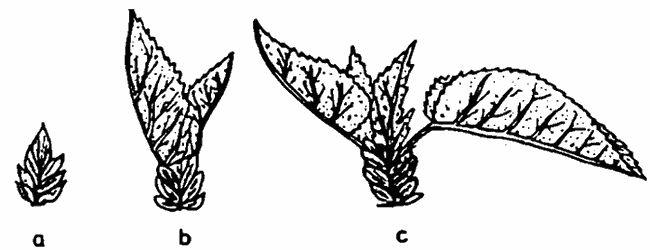 Fenofazele dezmuguritului la dud: a) umflarea mugurelui; b