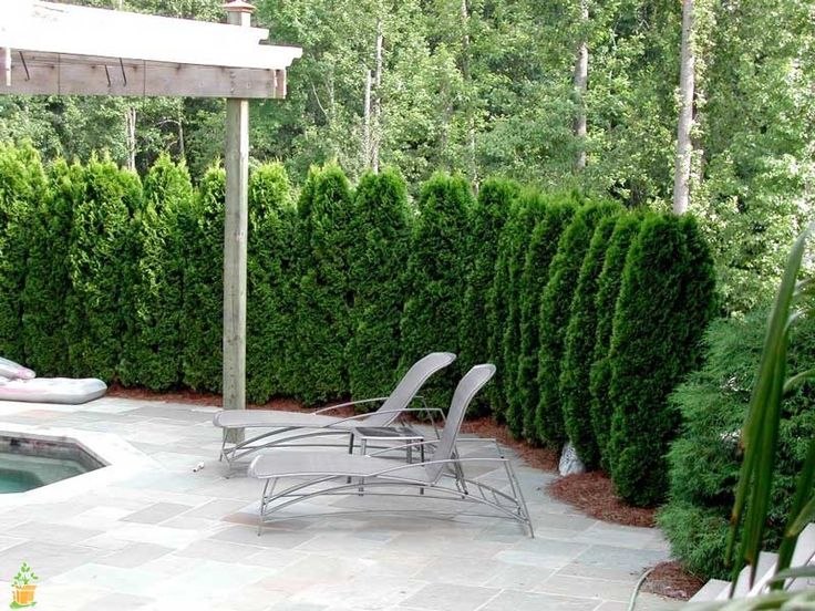 Perfect tree for screeningout what you don't want to see anymore! Stunning emerald green coloring Easy to care for Verylow maintenance Extremely popular