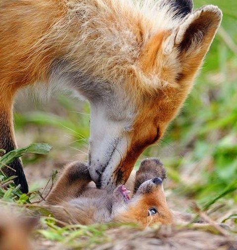 Red fox cub playing with mom. Just look at that tender loving face as she is nudging her happy little cub.