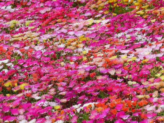 お花畑 P