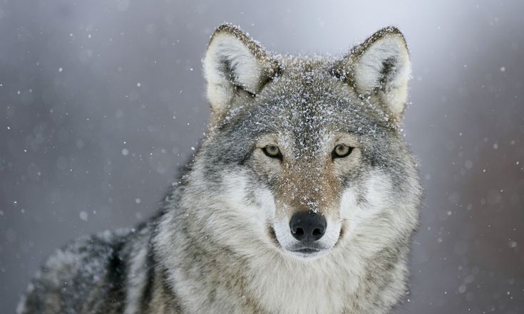 Scientists hypothesize that wolves howl in order to communicate with other wolf packs. Description from animalia-life.com. I searched for this on bing.com/images