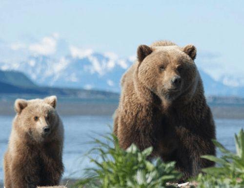 Медведи гризли