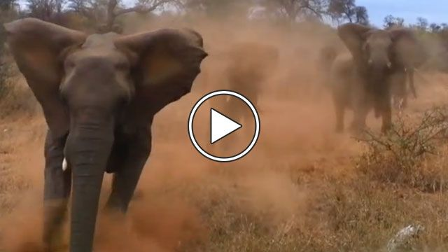 Elephant Attacks Safari Jeep