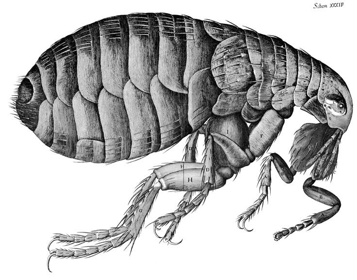Robert Hooke's Drawing of a Flea. 1665.