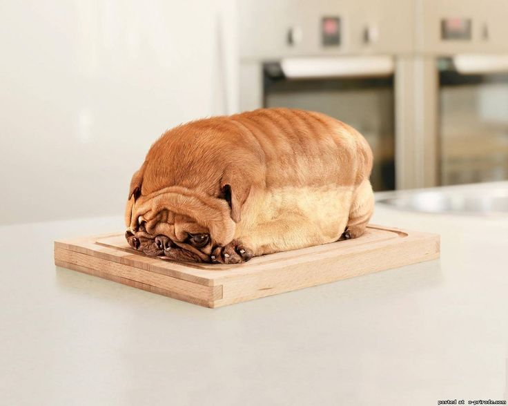 Pug loaf... maybe not... ... puppies/dog/dogs