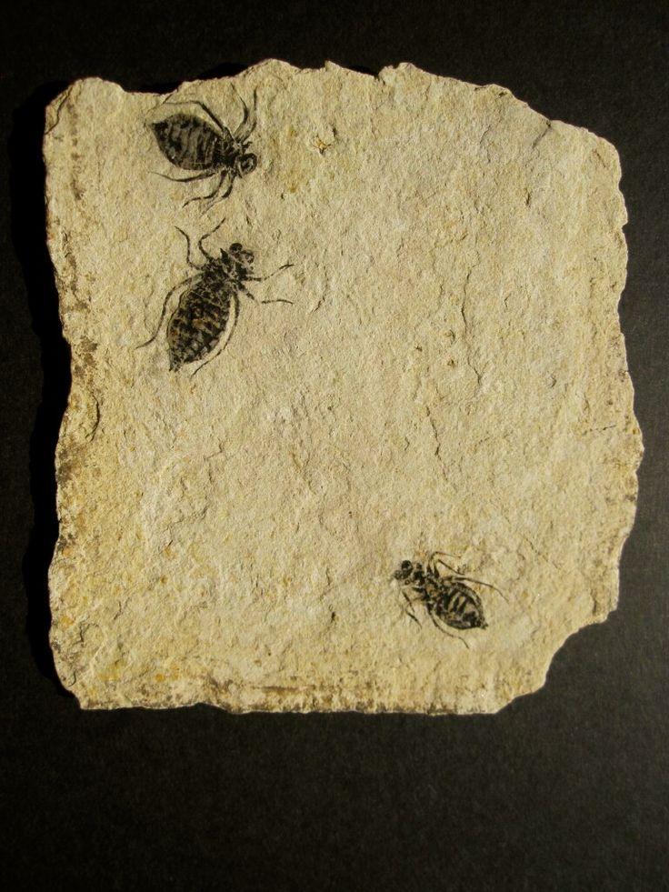 Dragonfly larvae Fossils