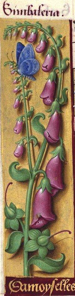 Damoyselles - Simbaleria (Digitalis purpurea L. = digitale pourpre, gant de Notre-Dame) -- Grandes Heures d'Anne de Bretagne, 1503-1508.