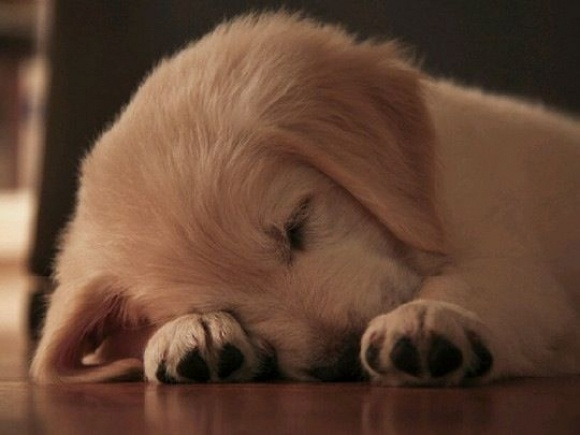 SleepyBuckets Lists, Old Dogs, Sleepy Puppies, Entire Life, Sweets Dreams, Dogs Lovers, Naps Time, Animal, Golden Retriever