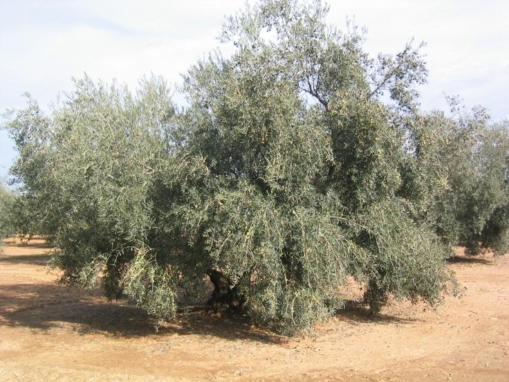 Nuestros olivos. Aceite Cortijo El Canal.