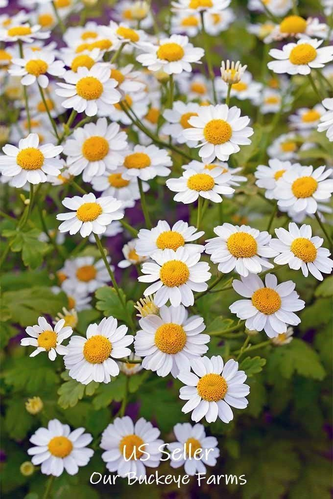 Feverfew Tanacetum Parthenium Herb Flower Medicinal Seeds By Ourbuckeyefarms On Etsy Yellow Plants Plants Feverfew Plant