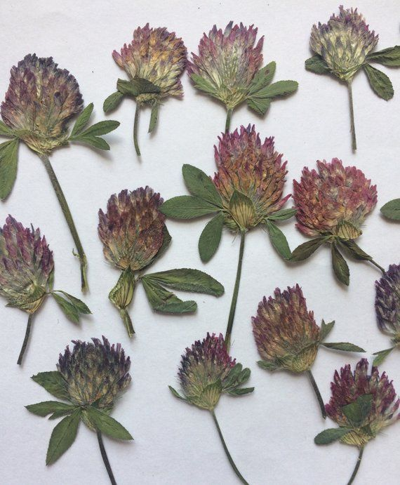 edelweiss various green foliage for floral art Pressed flowers mixed scrapbooking craft