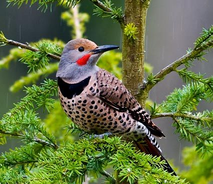 Northern Flicker. Large woodpeckers that spend a lot of time on the ground. Native to Mississippi