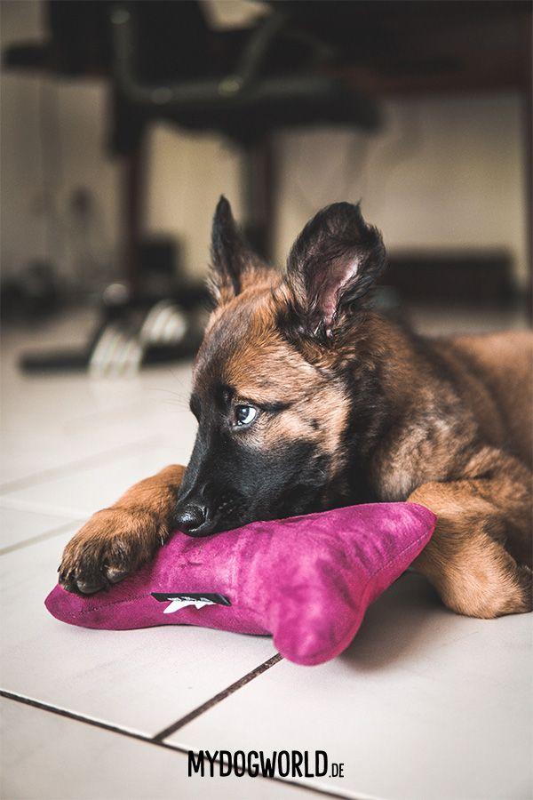 Cute Puppy Belgian Malinois Puppy Belgischer Schaferhund