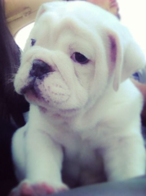English Bulldog puppy!!! can I have?!?!?!?