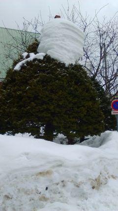 北海道驚きポイント  どうなったら木の上にこんな雪の積もり方するのでしょうか(ー) 不思議でなりません  #北海道 #雪 #どうやったらこうなる #自然の不思議 tags[北海道]