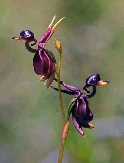 piccole anatre o orchidee?