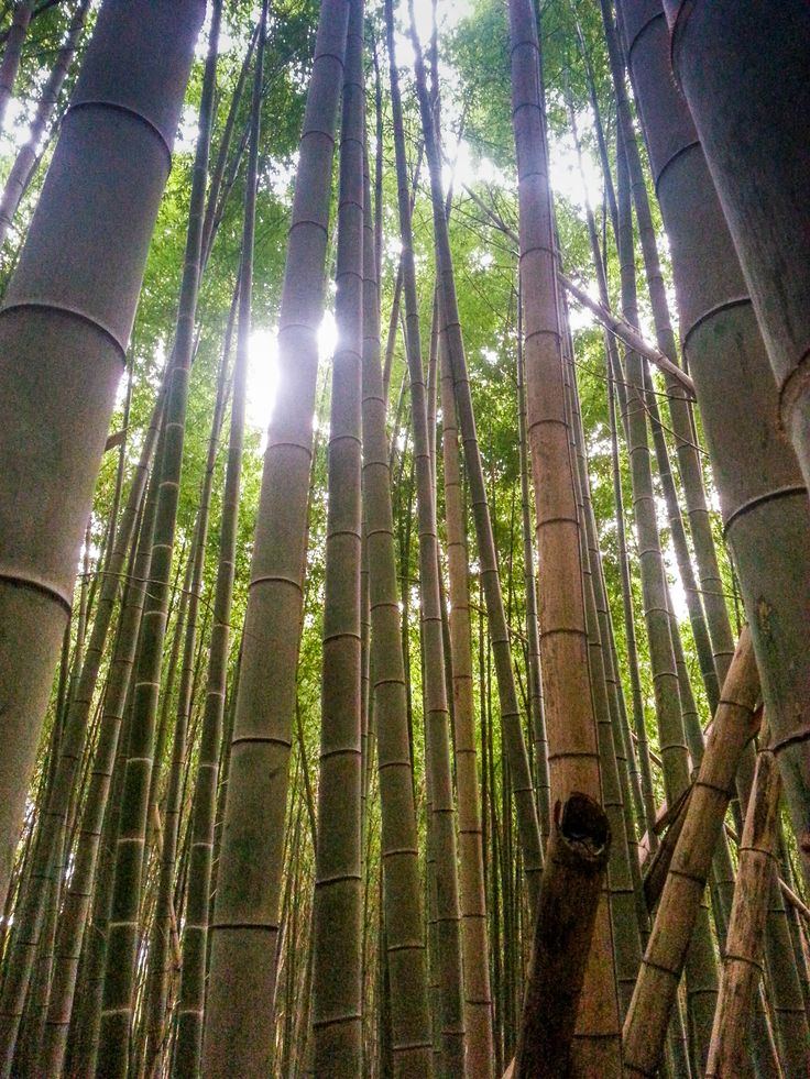 Bamboo Forest on Mt. Inari behind Fushimi Inari Shrine, 2 Hour Hike to the Top under Toriis and forest canopy. #japan #travelblog  Tallypack Dives Deeper into the meaning and history of travel destinations, check out the blog for our latest!