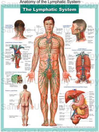 Anatomy of the Lymphatic System - Medical Illustration, Human Anatomy Drawing