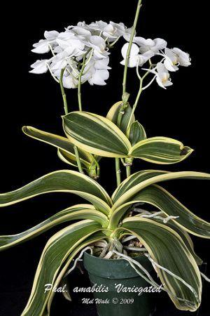 Orquidário da Mata  Phalaenopsis amabilis variegata