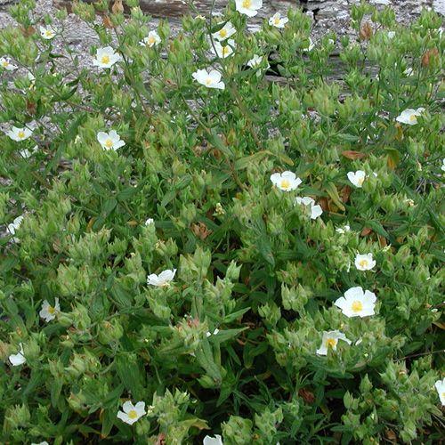 Cistus psilosepalus ciste petits arbustes buissonnants de climat doux ou de jardins - Arbuste decoratif persistant ...