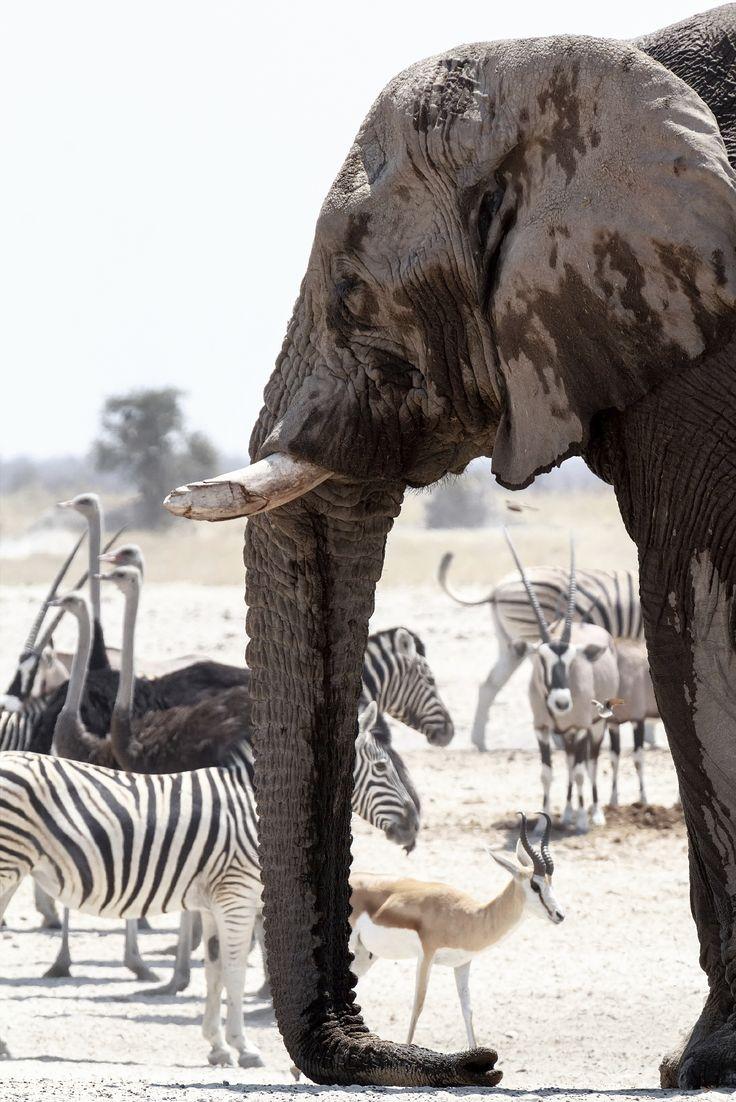 African elephants drinking at a muddy waterhole with other animals, Etosha national Park, Ombika, Kunene, Namibia. True wildlife photography