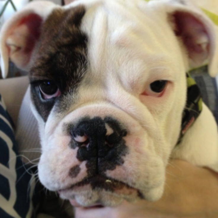 1000+ images about Bulldogs on Pinterest | Posts, Pug and ...