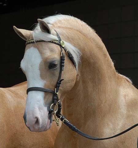 Welsh Pony stallion at stud - *Wedderlie Mardi Gras LOM/AOE - Imported Section B